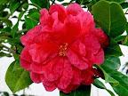 鮮紅色 獅子咲き 中〜大輪