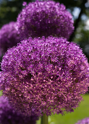 Onion flower - overlit