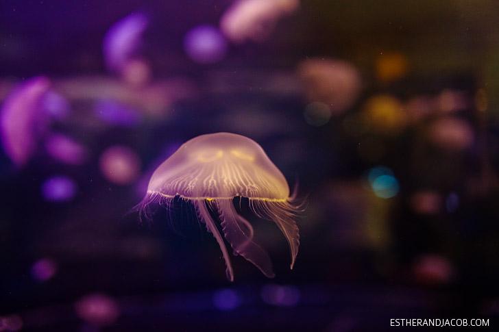 Moon Jellyfish at the Shark Reef Aquarium at Mandalay Bay Las Vegas NV.