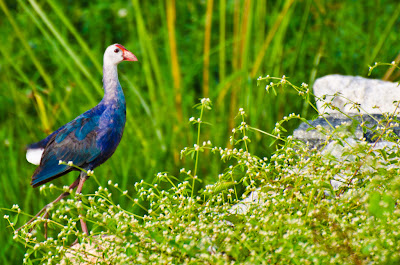 22-Aug-2011  Purple Swamphen  Pic: Sudhir Singh