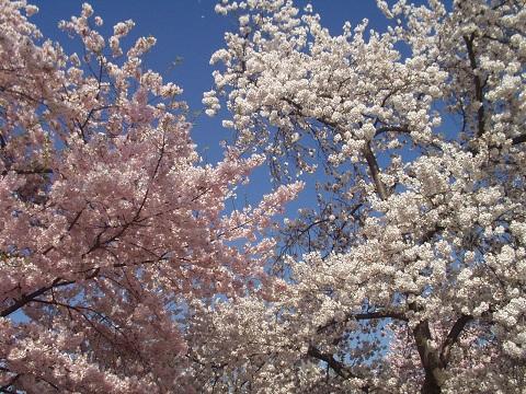 flores de cerejeira cherry blossom