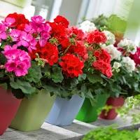 Hướng dẫn chăm sóc hoa phong lữ thảo