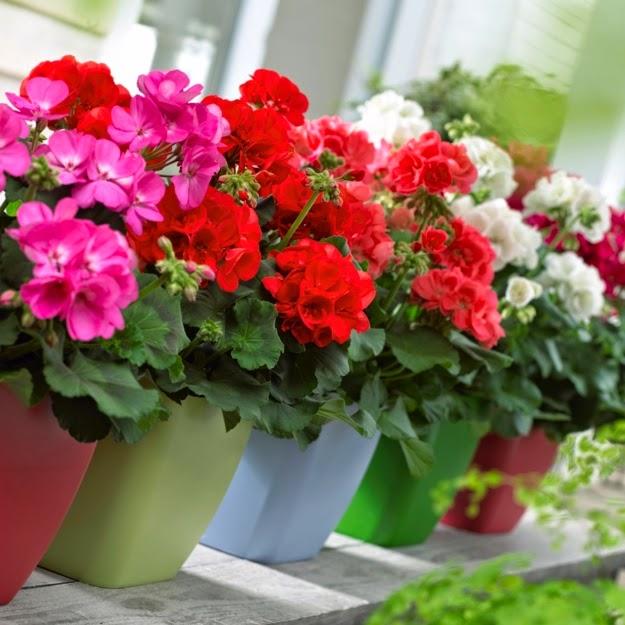 Cách chăm soc hoa phong lữ thảo