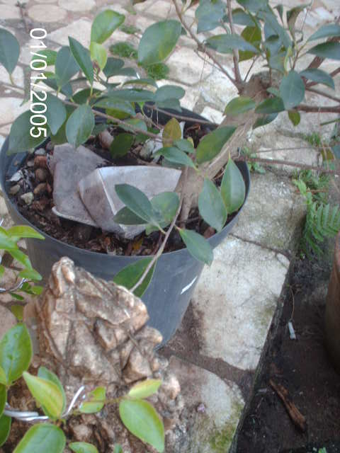 Ficus Microcarpa var. Indica... PICT1604