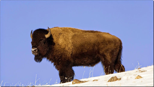 American Buffalo, Yellowstone National Park.jpg