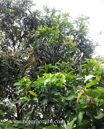 Mangifera indica, Mango tree