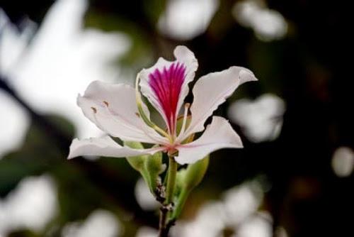 thang 3 hoa ban ve tren thao nguyen xanh moc chau3 Tháng 3 – mùa hoa ban về trên thảo nguyên xanh Mộc Châu