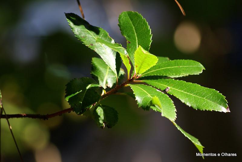 Detalhes do Outono, folhas de medronheiro