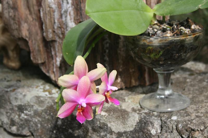 Phalaenopsis Liodoro IMG_0356