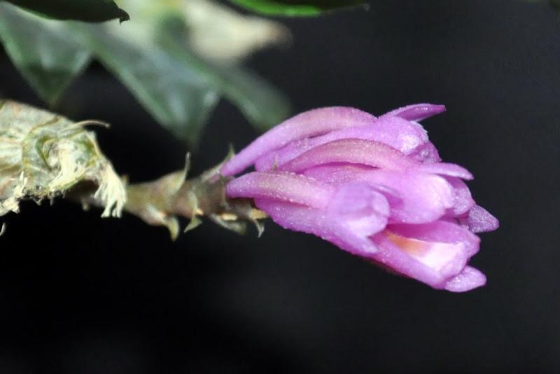 Dendrobium limpidum CSC_0004
