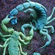 К чему снится скорпион?