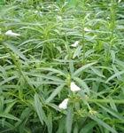 tanaman lenglengan