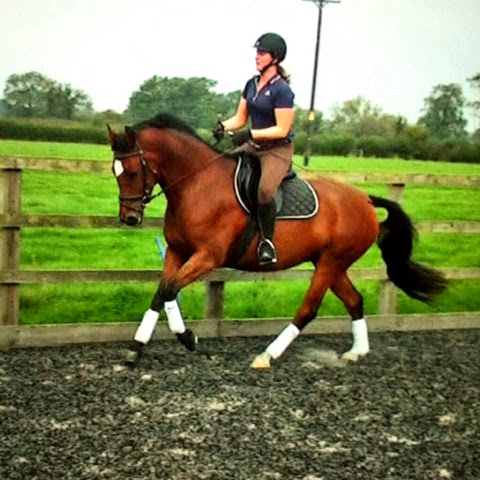 The ShowjumpingShire - temporarily doing dressage!