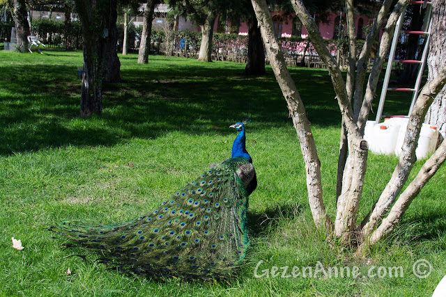 Uluabat Kuş Cenneti ortamı ve bir tavus kuşu