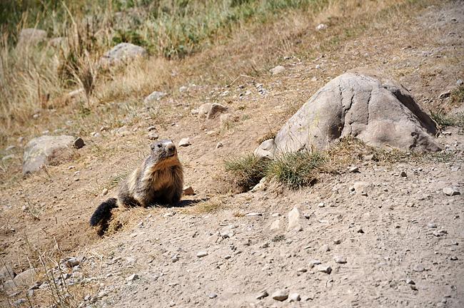 Traversée des Alpes, du lac Léman à la Méditerranée Gr5-briancon-mediterranee-marmotte