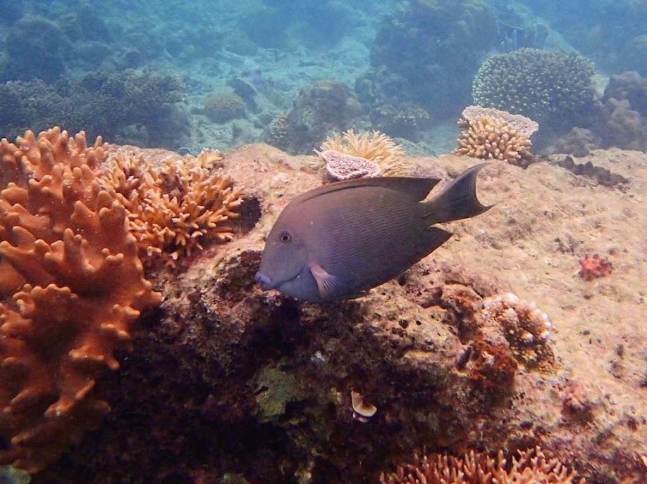 Ctenochaetus striatus (Striped Bristletooth Tang), Miniloc Island Resort reef, Palawan, Philippines.