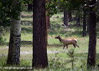 Just one of many elk seen along the Paseo del Lobo trail (Photo by N. Renn)