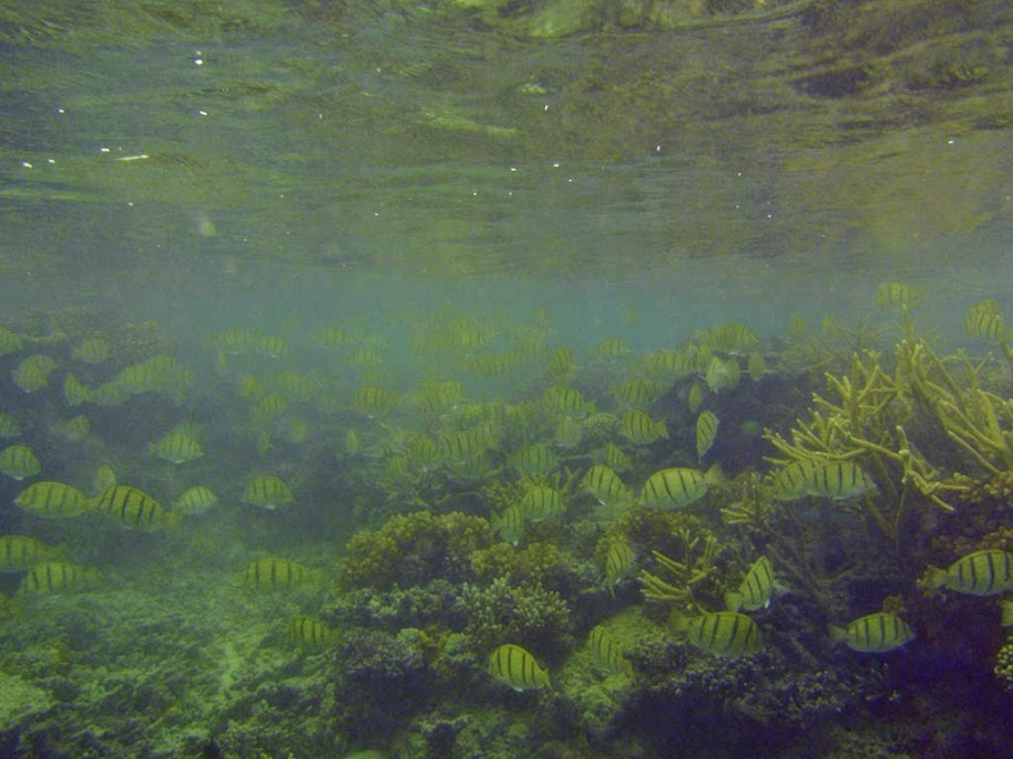 Acanthurus triostegus (Convict Tang), Naigani Island, Fiji.