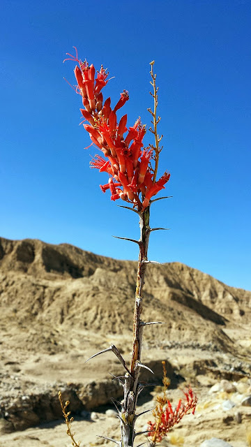 Blooming Ocotillo Anza Borrego Fish creek