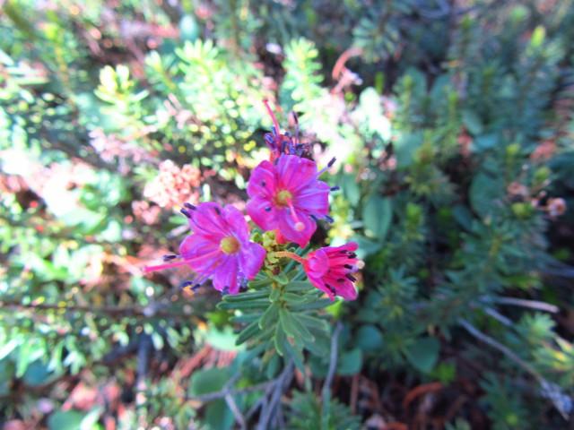 purple flowers of heather
