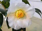 白色 一重 筒〜盃状咲き 筒しべ 中輪