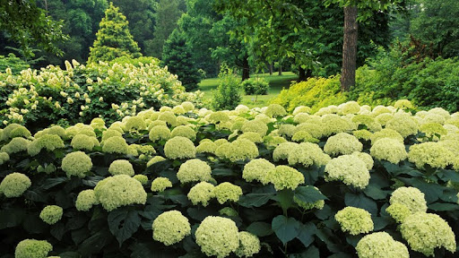 Hydrangea Garden, Clermont, Kentucky.jpg