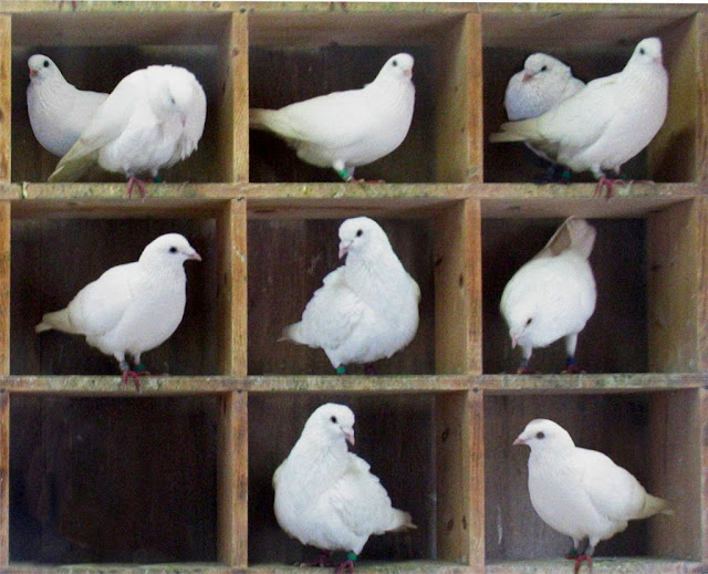 TooManyPigeons by BenFrantzDale; this image by McKay, via Wikimedia Commons