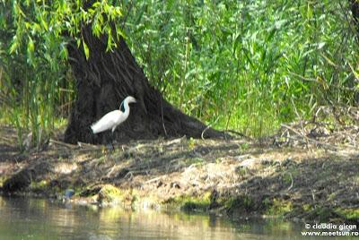 pasari din delta: egretă mică