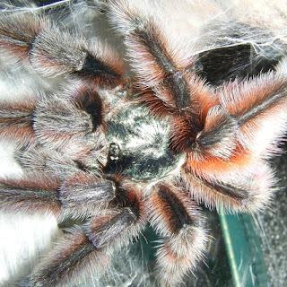 Avicularia versicolor Antilles Pinktoe Tarantula