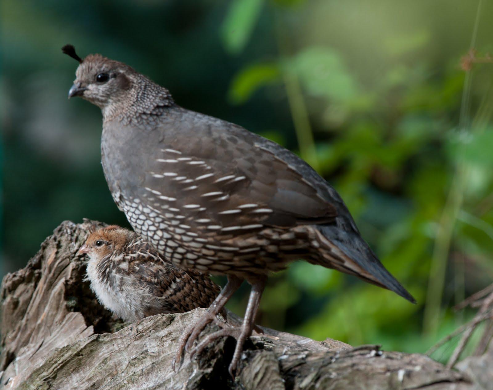 Birds: California Quail