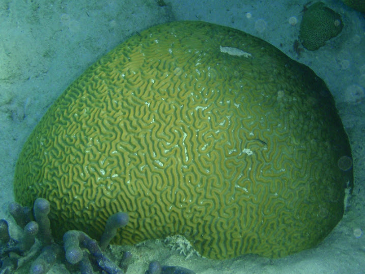 Colpophyllia natans (Brain Coral) near Tranquility Bay Resort.