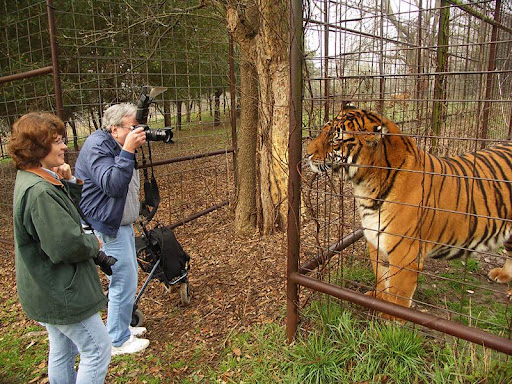 size of the siberian tiger The siberian tiger brocken inaglory via wikimedia commons [cc-by-sa-30] all modern tigers are subspecies of panthera tigris (for example, the siberian tiger is technically known by the genus and species name panthera tigris altaica).