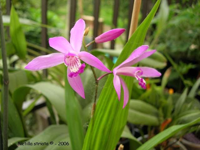 Растения из Тюмени. Краткий обзор Bletilla%25252520striata