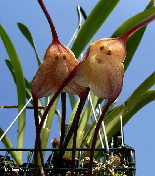 Растения из Тюмени. Краткий обзор - Страница 3 Psittacina2