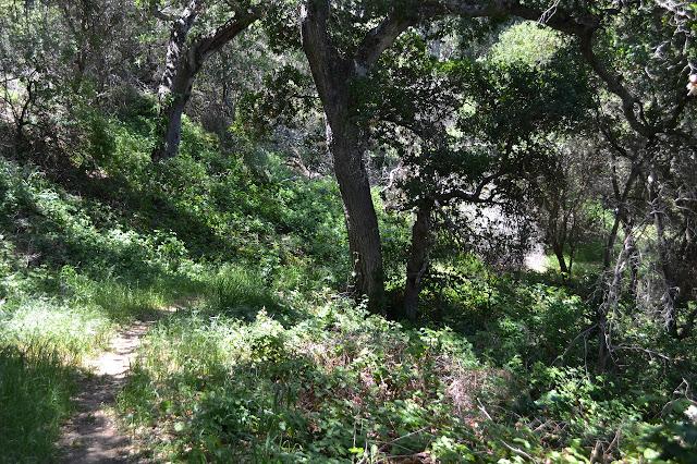 oaks and poison oak along the narrow section