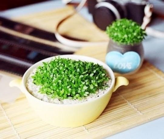 chau+cay+1 Cách trồng chậu cây nhỏ xinh từ hạt thanh long