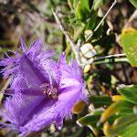 Thysanotus tuberosus (Common Fringe Lily) on the Geebung Track (250105)