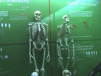 σύγκριση οστών ανθρώπου και πιθήκου,comparison of human and ape skeleton