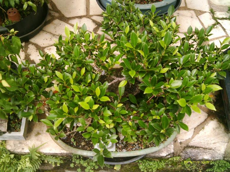 Ficus Microcarpa, finalização Rapida... IMAG0174