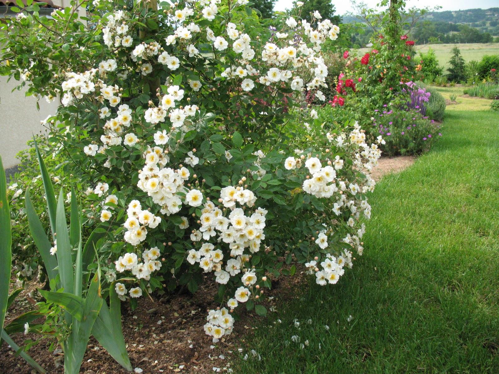 roses du jardin ch neland cr ation du jardin. Black Bedroom Furniture Sets. Home Design Ideas