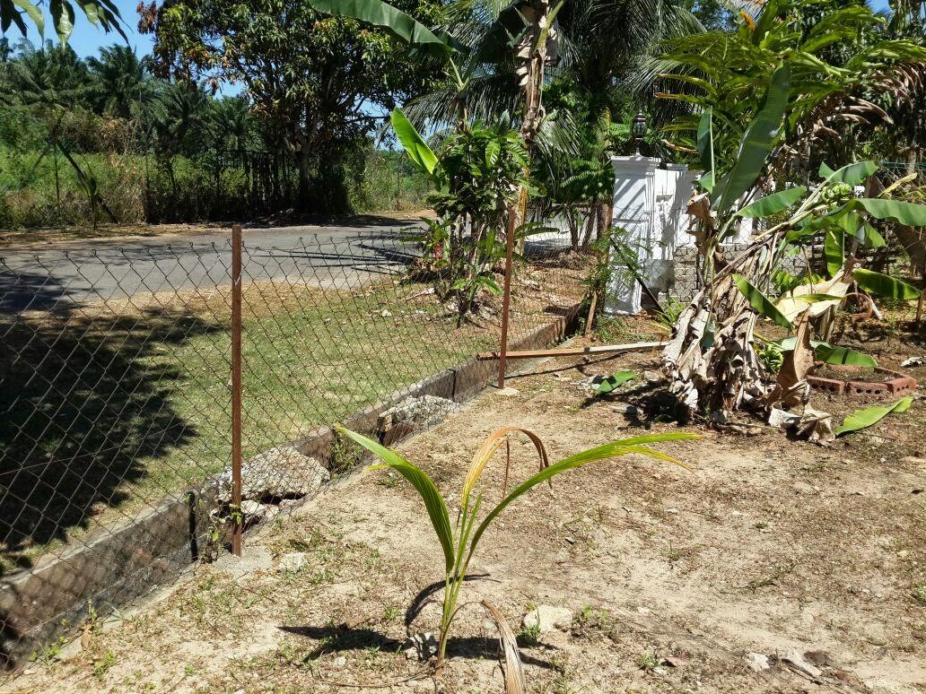 Pisang Berbuah Lebat Pokok Pisang Jari Kura Berbuah