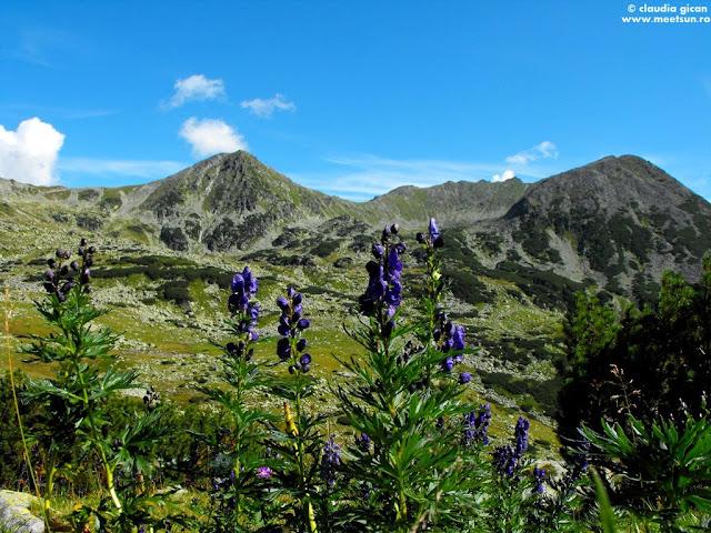 Vf. Custura Bucurei și Piciorul Pelegii printre flori mov de omag