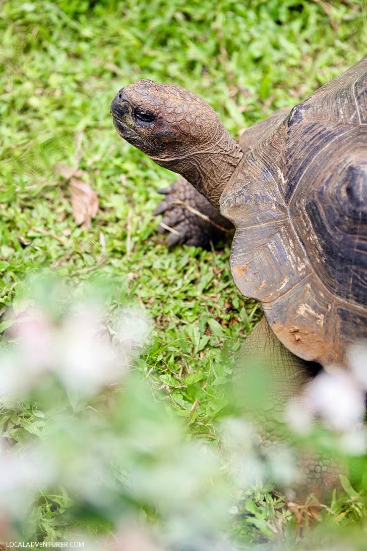 Giant Galapagos Tortoise - Galapagos Animals.