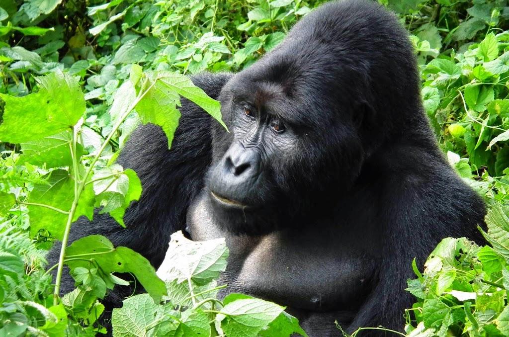 Silverback Gorilla in Gorilla Mountain in Uganda, Africa