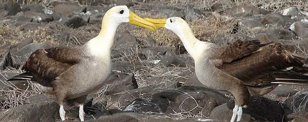 Waved Albatross Espanola Island - Surbound