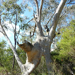 Scribbly gum on Smiths Creek Trail (306557)