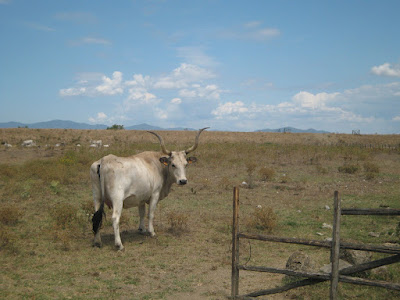 Southern Tuscany's Maremma cow. On the way to Alberese's national park beach.
