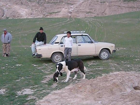 абориенная среднеазиатская овчарка