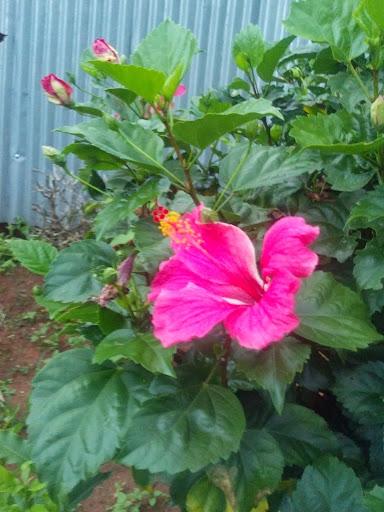 hibiscus in Nigeria