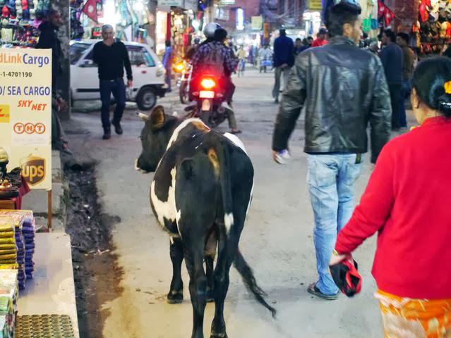 達人帶路-環遊世界-尼泊爾-牛在街頭